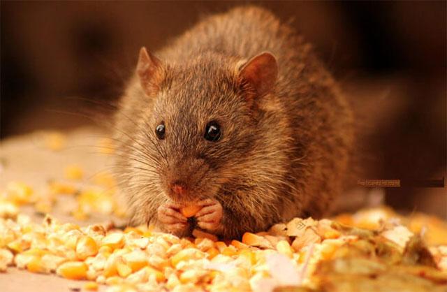 bạn có thực sự hiểu về chuột