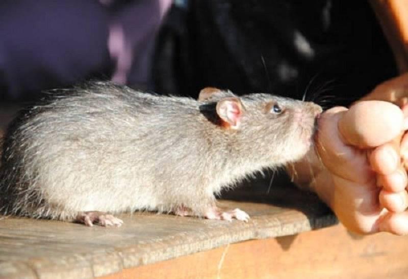 chuột cắn có nguy hiểm không