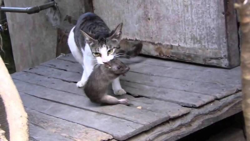 cách diệt chuột cống