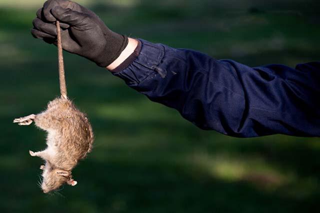 dịch vụ diệt chuột hiệu quả tại nhà