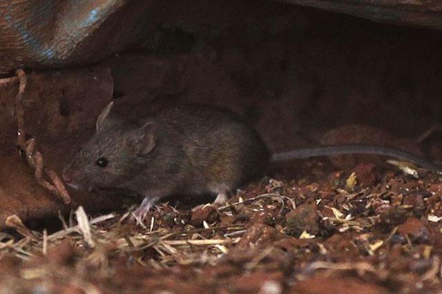 Những mầm bệnh nguy hiểm mà chuột mang đến