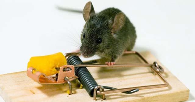 sử dụng bẫy tiêu diệt chuột