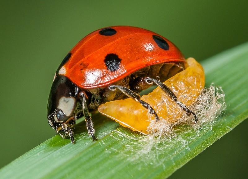 Bọ rùa được xếp vào loài côn trùng có ích hàng đầu khi mỗi con có thể ăn đến 5000 con rệp
