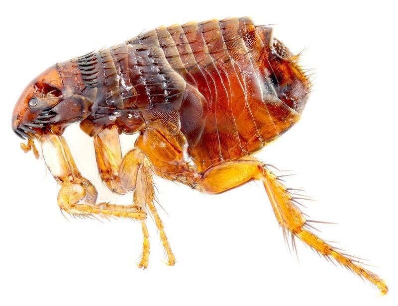 Hình ảnh con bọ chét