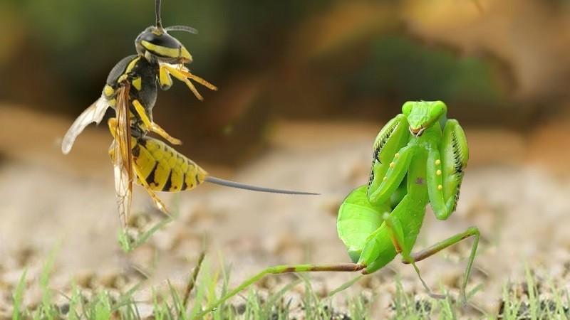 Ong bắp cày là loài thụ phấn có ích và chúng cũng có khả năng tiêu diệt một số loài côn trùng