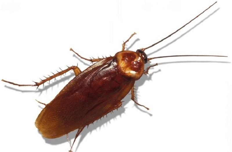 Gián là loài côn trùng nhỏ nhưng lại bị ghét nhất hành tinh vì ở bẩn và gây bệnh cho con người