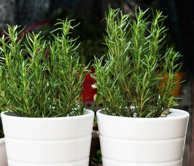 Cây hương thảo trồng trong nhà giúp đuổi muỗi