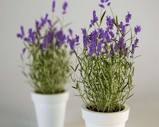 Hoa oải hương giúp đuổi muỗi