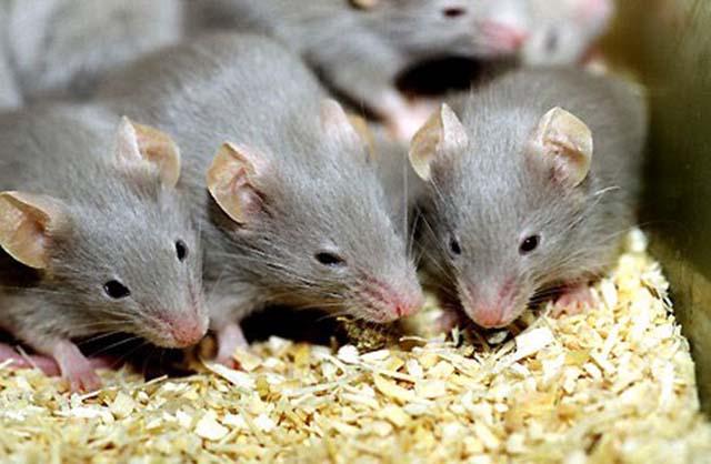 tại sao phải tiêu diệt chuột