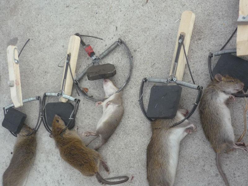 Bẫy chuột không cần mồi – cách bẫy chuột đơn giản hiệu quả cao