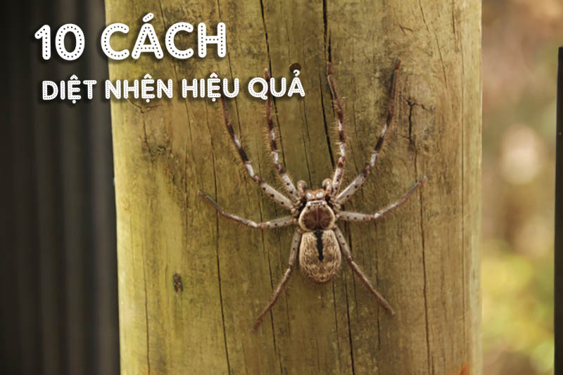 Cách diệt nhện trong nhà hiệu quả