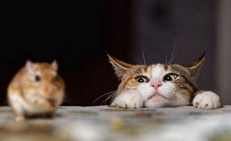 Dùng mèo để bắt chuột chù
