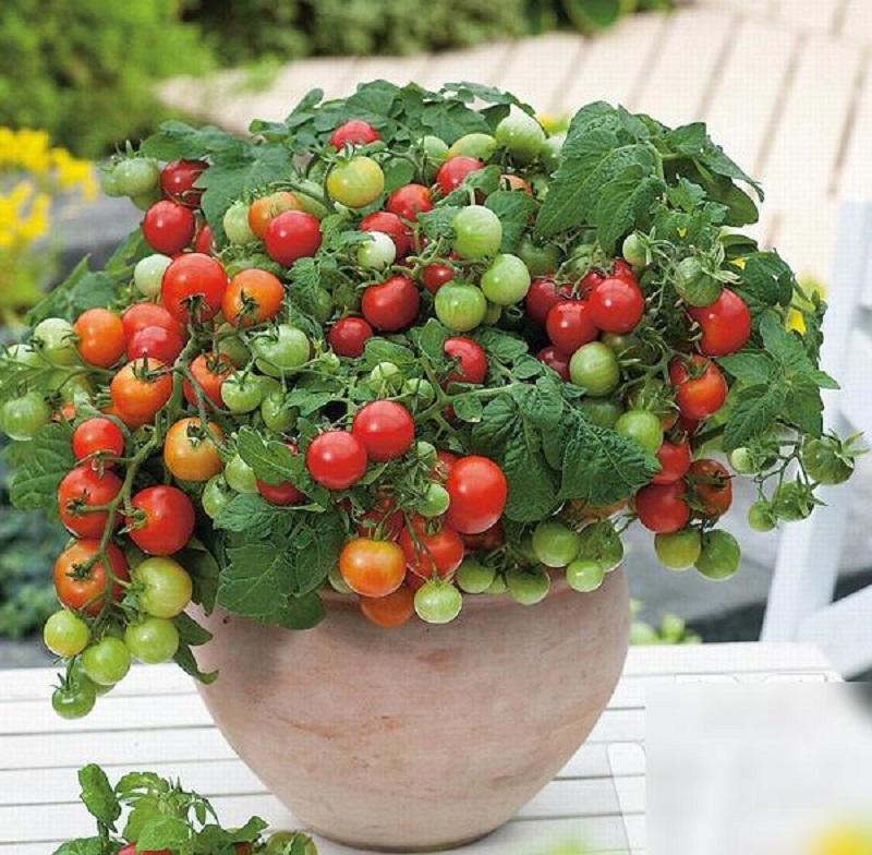 Cách đuổi ruồi bằng cà chua