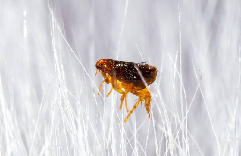 Cách diệt bọ chét