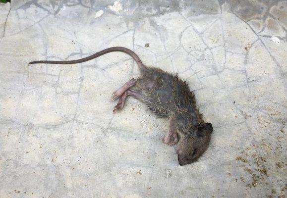 cách khử mùi chuột chết