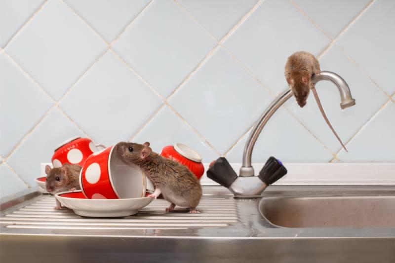 Chuột thích ăn gì