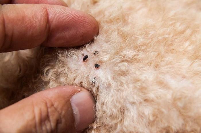 Dùng thuốc diệt bọ chét thú y để tiêu diệt bọ chét trên da thú cưng