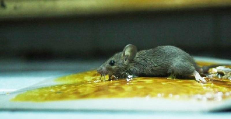 Sử dụng keo dính chuột để bắt sống chuột tránh dọn xác mất vệ sinh