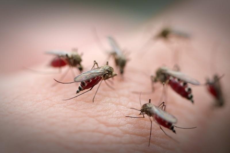 Muỗi trưởng thành đốt hút máu người và nhiều loài động vật có vú khác