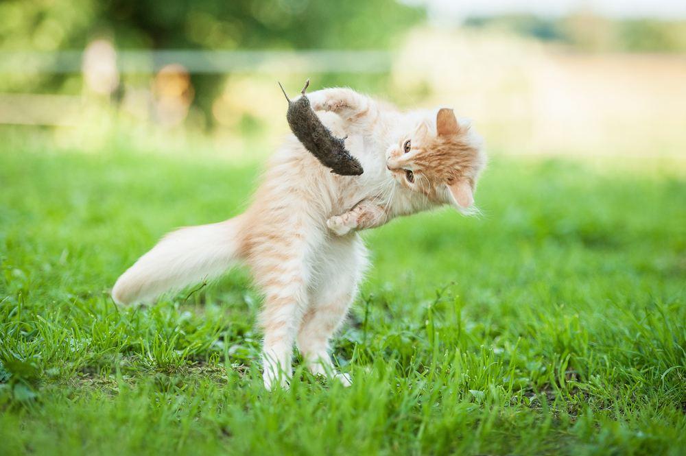 Nuôi mèo bắt chuột