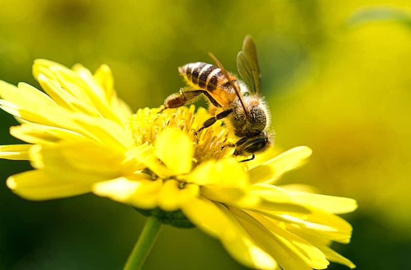 Ong mật là loài côn trùng thụ phấn giúp hoa màu cây trái phát triển tăng giá trị kinh tế