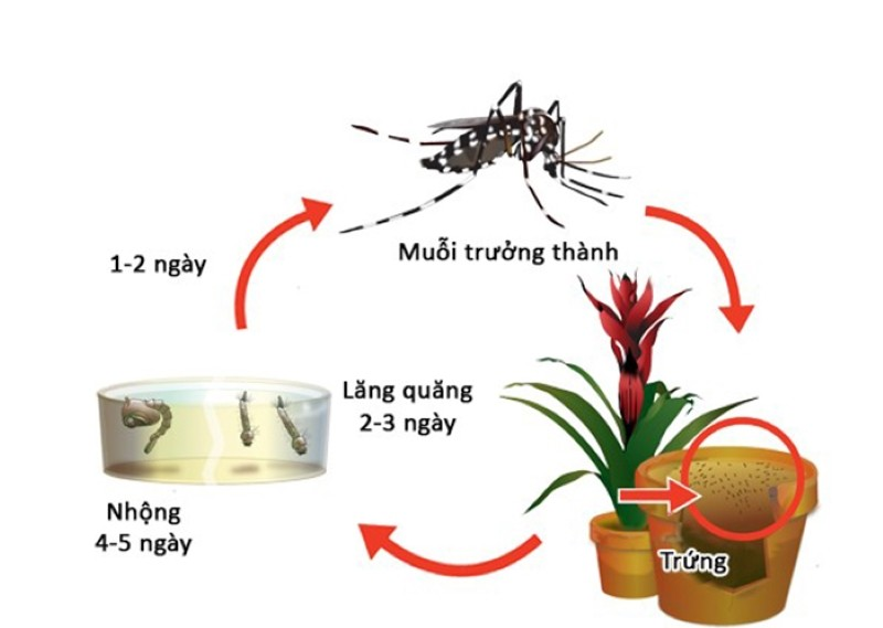 4 giai đoạn vòng đời của muỗi bao gồm Trứng – Lăng quăng – Nhộng – Muỗi trưởng thành