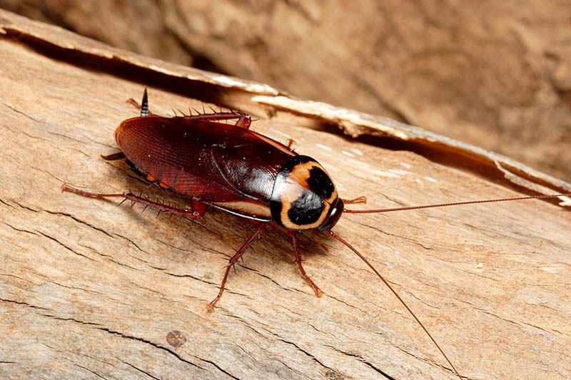 Gián loài côn trùng sông nơi dơ bẩn mang nhiều mầm bệnh