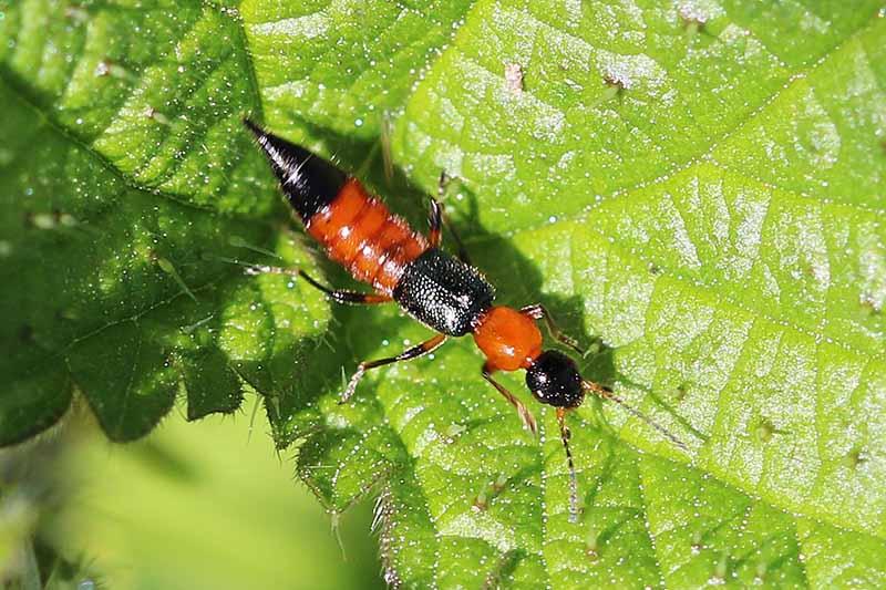 Nọc độc kiến ba khoang độc gấp 15 lần nọc độc rắn hổ
