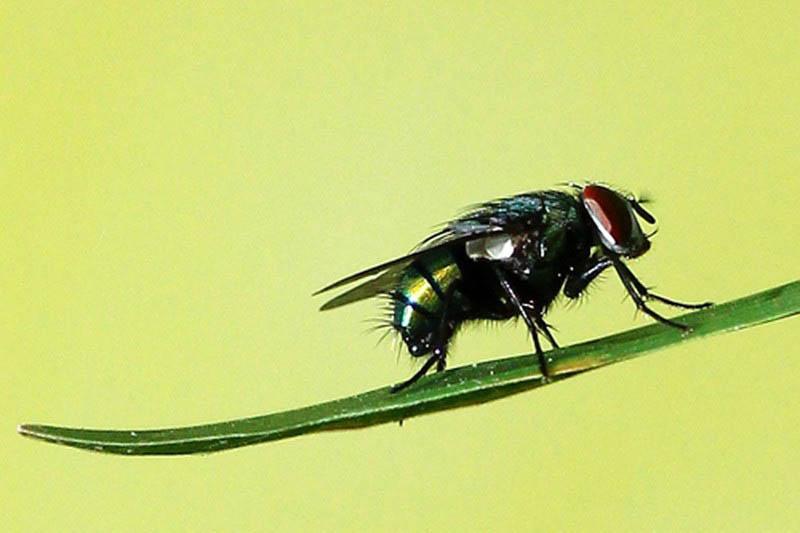 Vết đốt từ ruồi trâu gây ra đau nhức và khả năng nhiễm trùng cao