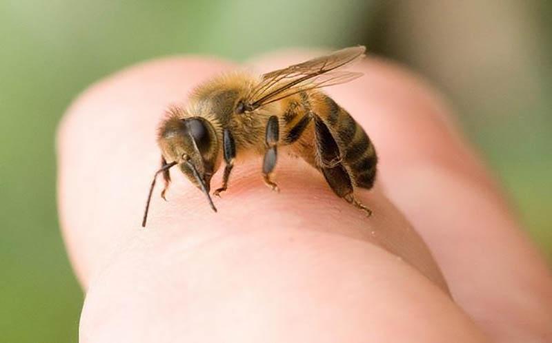 Ong vò vẽ loài ong độc nhất trong tất cả các loài ong khác