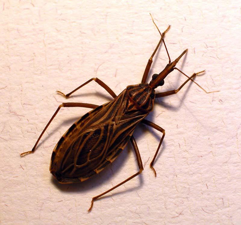 Bọ xít hút máu là nguyên nhân gây ra bệnh Chagas