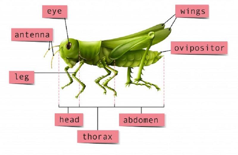 Cấu tạo của côn trùng có 3 phần đầu, ngực, bụng