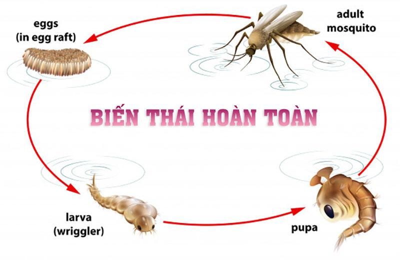 Biến thái hoàn toàn ở côn trùng trải qua 4 giai đoạn: Trứng, Ấu trùng, Nhộng, Con trưởng thành