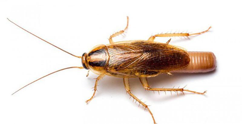 Gián Đức loài côn trùng có kích thước nhỏ, di chuyển nhanh và rất mắn đẻ