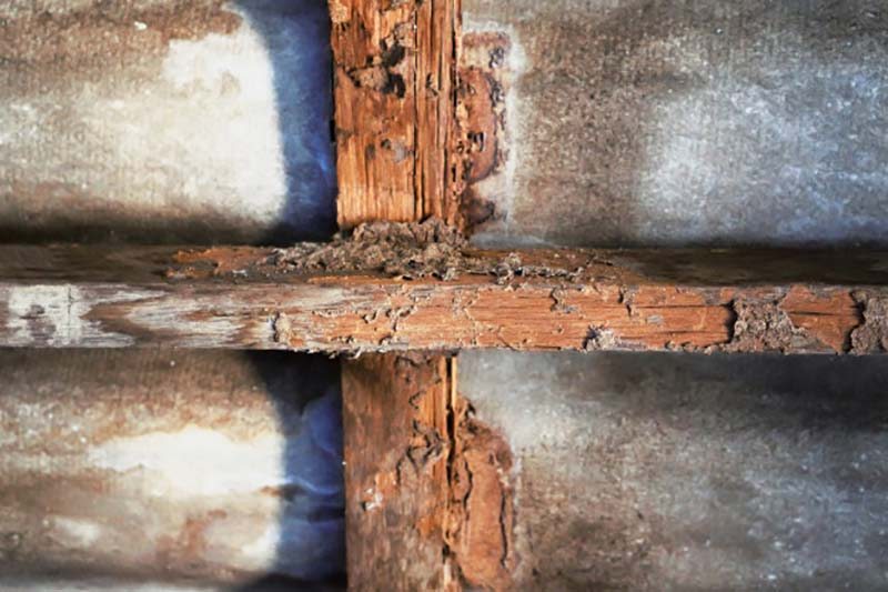 Thức ăn chủ yếu của mối là cellulose từ gỗ