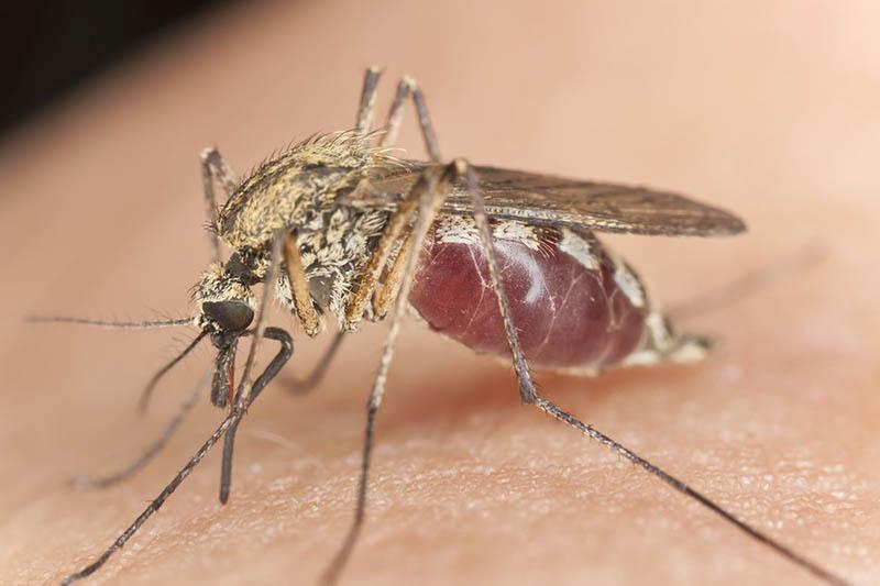 Muỗi được mệnh danh là loài côn trùng nguy hiểm nhất hành tinh