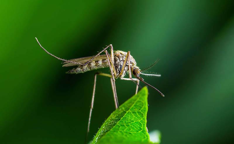 Cấu tạo cơ thể muỗi được chia thành 3 phần riêng biệt
