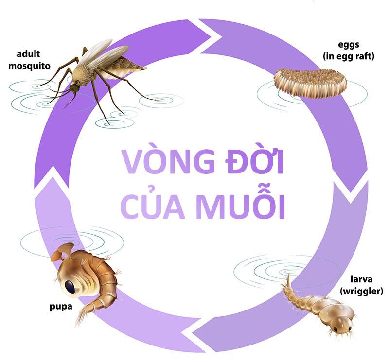 Vòng đời của muỗi trải qua 4 giai đoạn trứng - ấu trùng - nhộng - con trưởng thành
