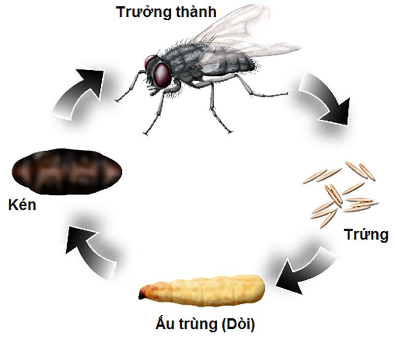 Vòng đời của ruồi trải qua 4 giai đoạn: Trứng - Ấu Trùng - Nhộng - Ruồi trưởng thành