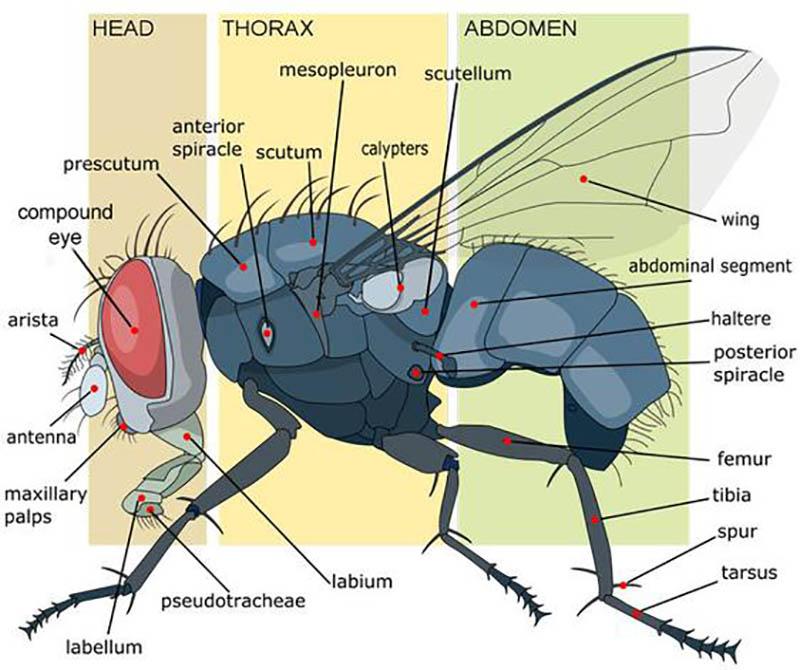 Cấu tạo cơ thể ruồi được chia thành 3 phần Đầu - Ngực - Bụng
