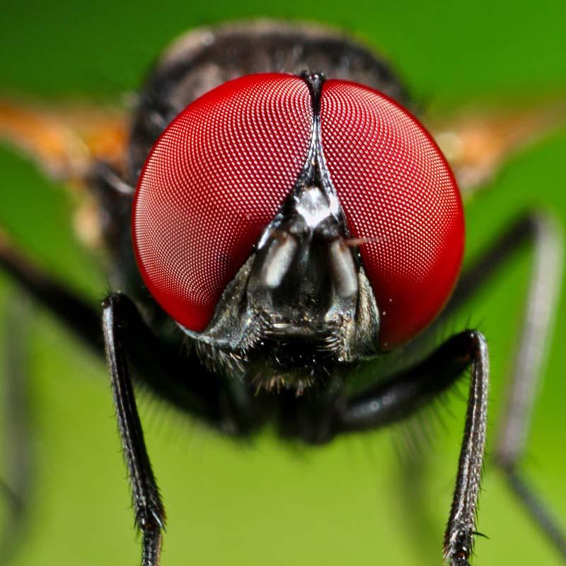Mắt của ruồi có cấu tạo đặc biệt giúp nhận biết tia sáng và thay đổi góc nhìn nhanh chóng
