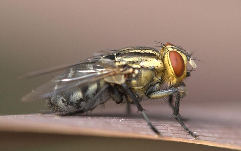 Ruồi là loài côn trùng ưa bẩn và là vật trung gian truyền bệnh cho con người