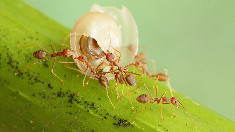 Loài kiến có tập tính xã hội cao, một tập đoàn có thể lên đến hàng triệu con
