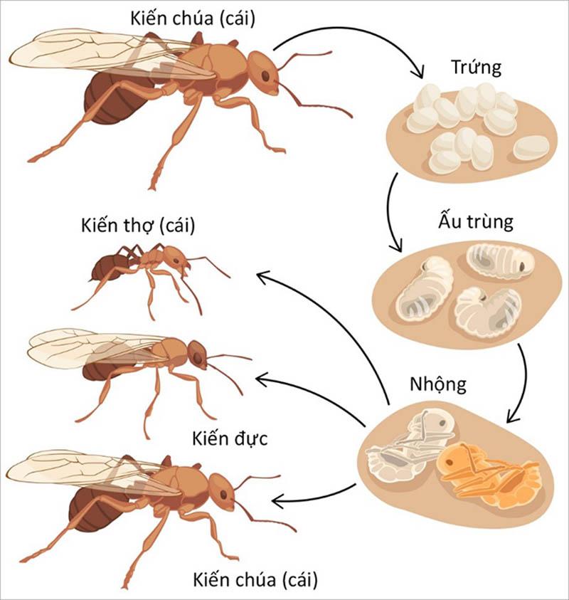 Vòng đời của kiến trải qua 4 giai đoạn: Trứng - Ấu trùng - Nhộng - Con trưởng thành