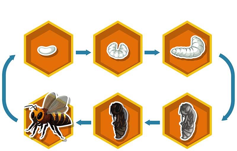 Vòng đời của loài ong trải qua 4 giai đoạn: Trứng, ấu trùng, nhộng, con trưởng thành