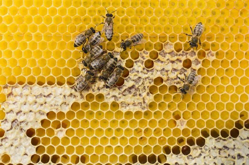 Trong tổ ong được phân chia nhiều chức vụ: Ong chúa, ong thợ, ong đực
