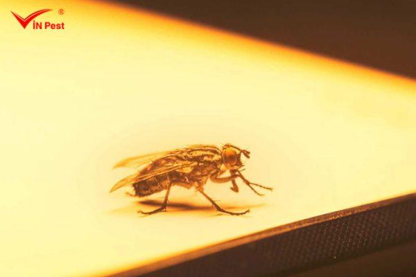 Cách diệt ruồi vàng